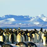emperor-penguins-429127_1920