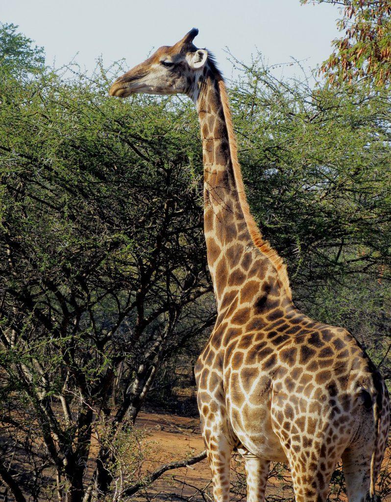 きりん(Giraffe)