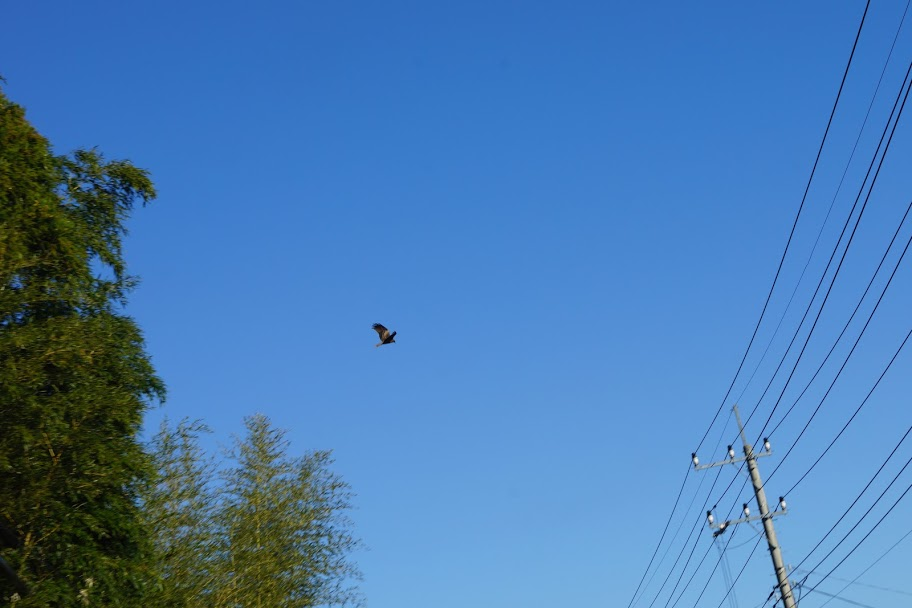 三石山観音寺の空ではトンビが飛んでいます